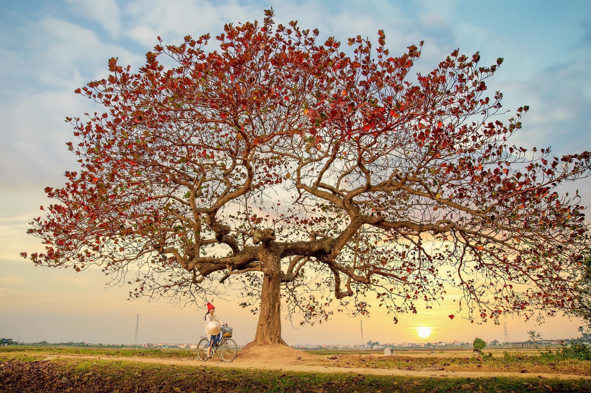 Ảnh cây bàng mùa lá rụng
