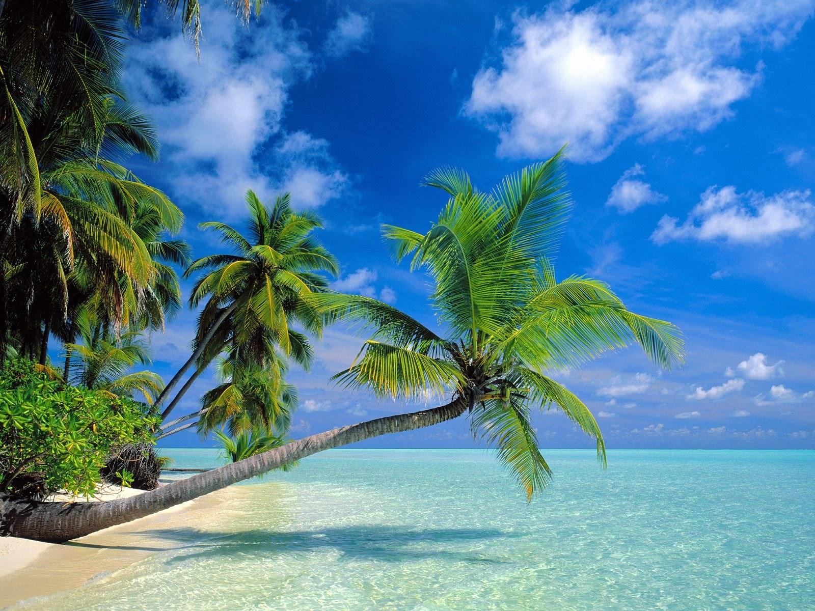 Ảnh cây dừa ngát xanh