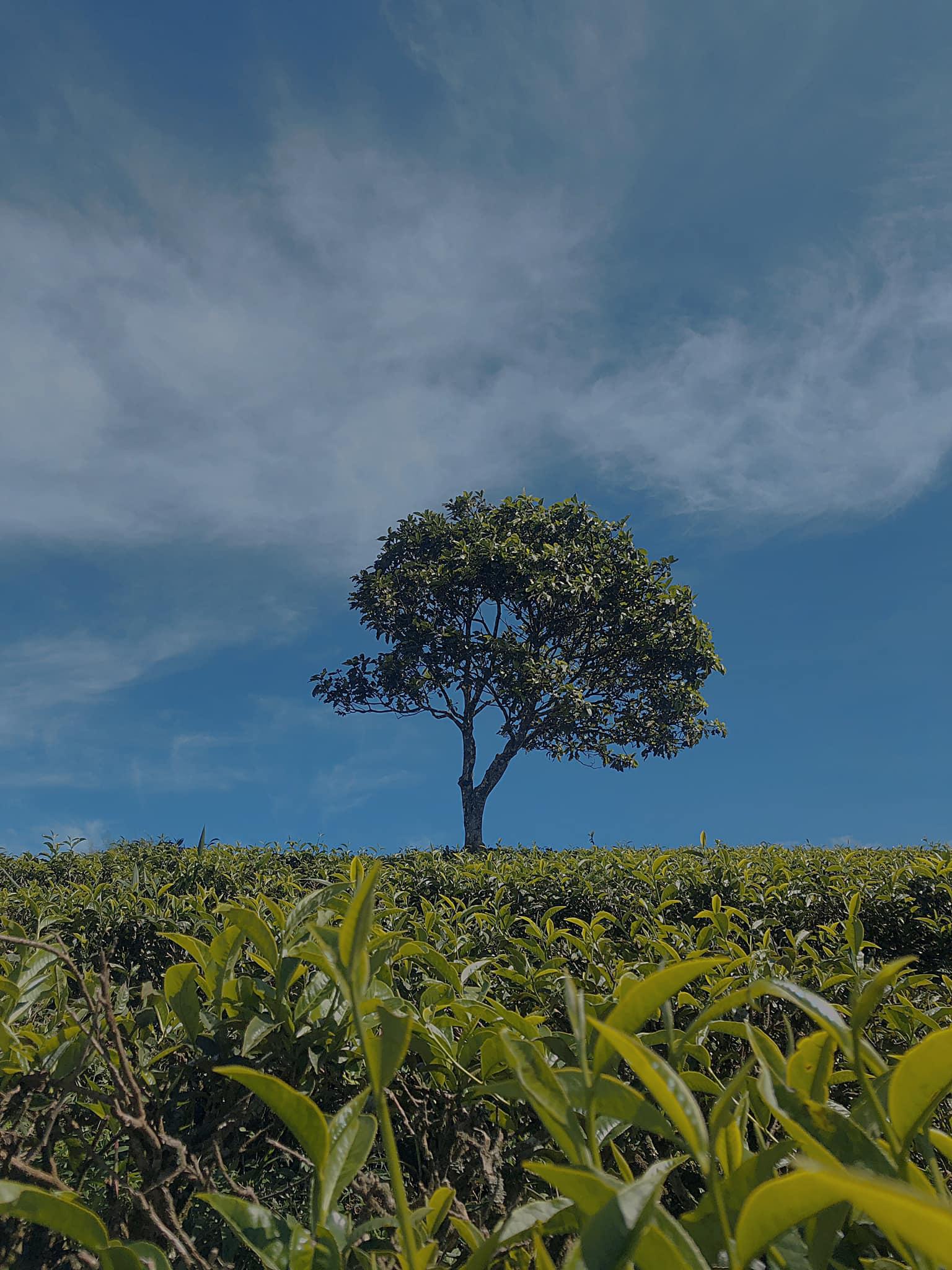 Ảnh cây xanh đứng giữa đồi chè