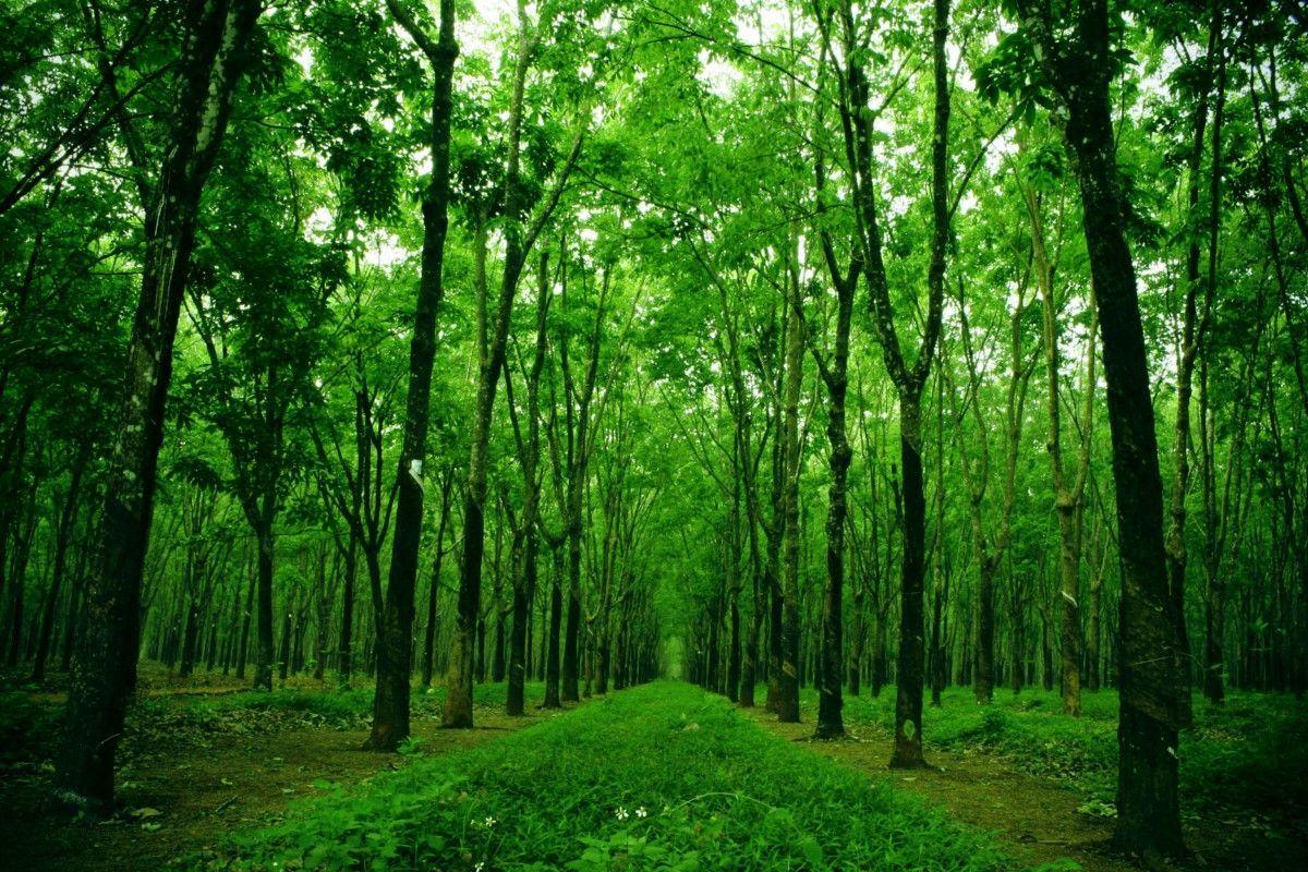 Hình ảnh rừng cây xanh đẹp mãn nhãn