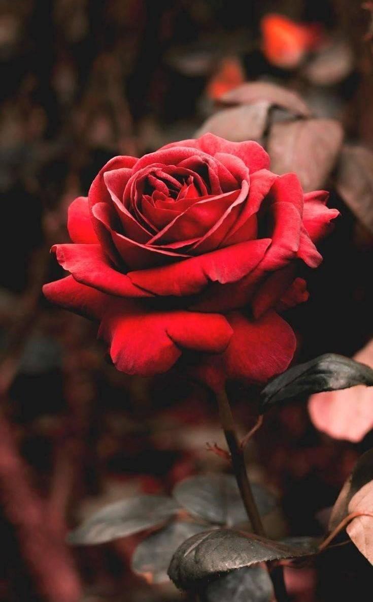 Ảnh đại diện hoa hồng