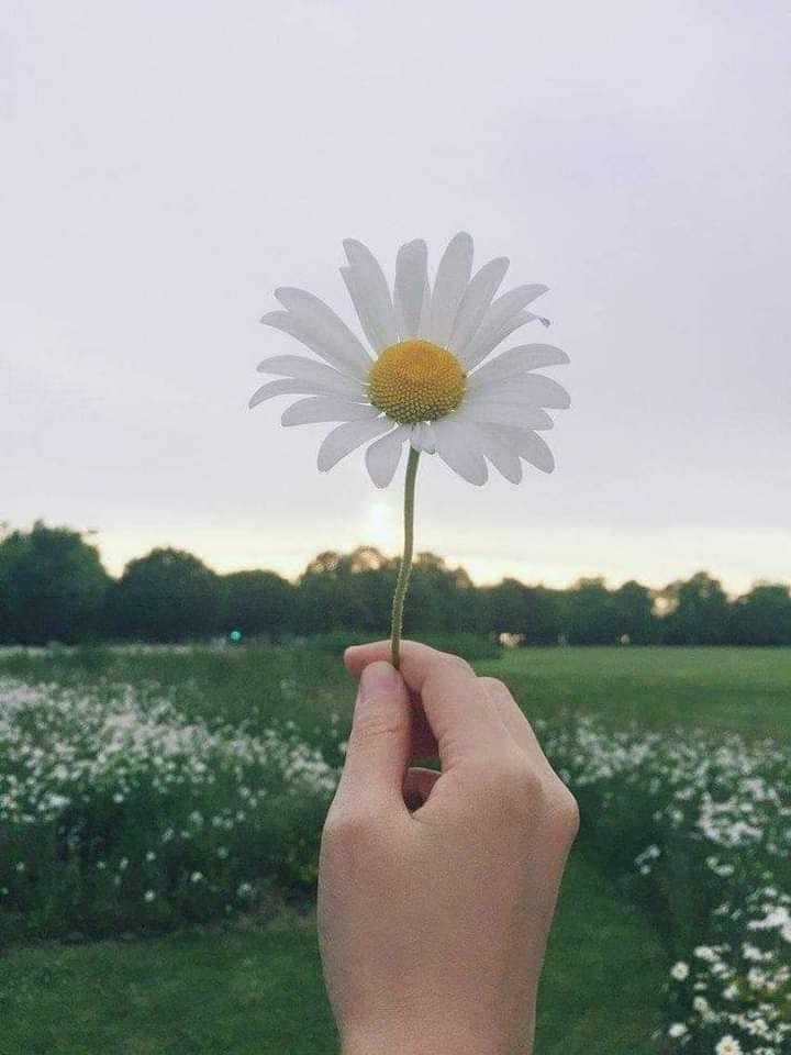 Hình ảnh đại diện hoa cúc