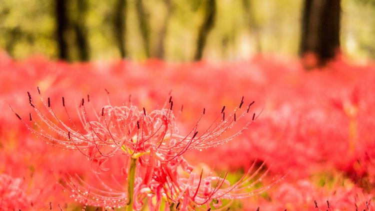 Hình nền bông hoa Bỉ Ngạn