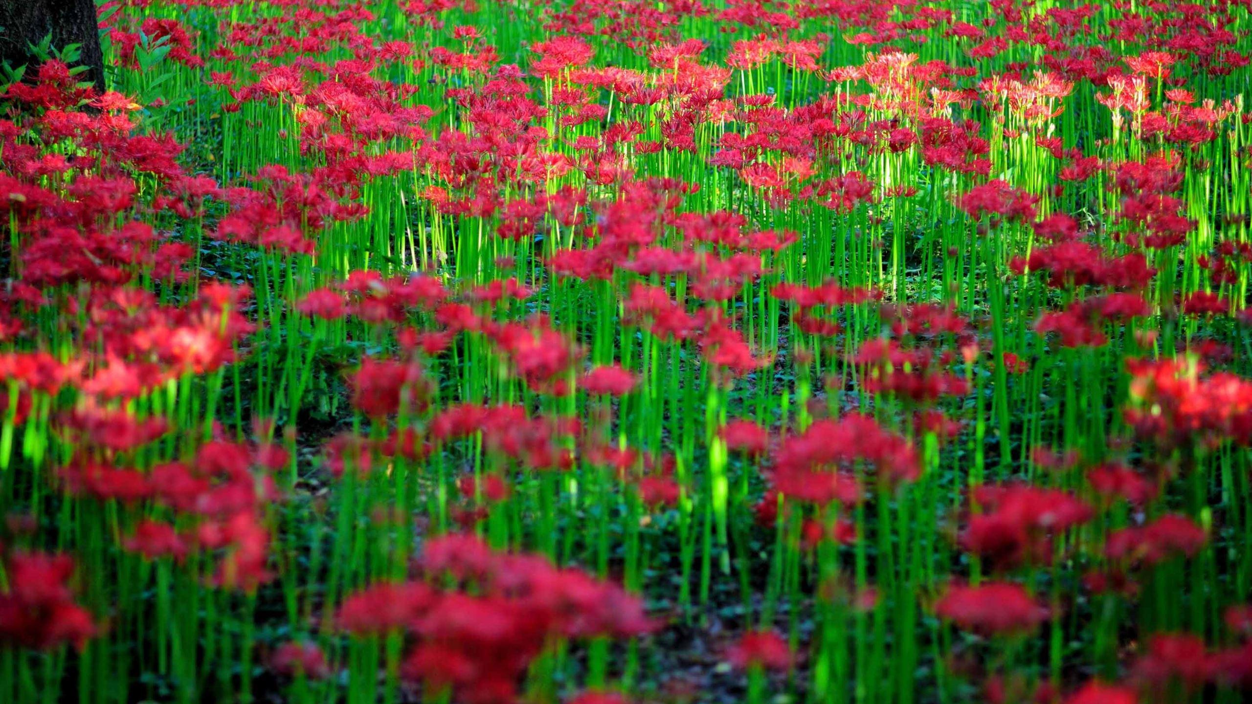 Hình nền cây hoa Bỉ Ngạn