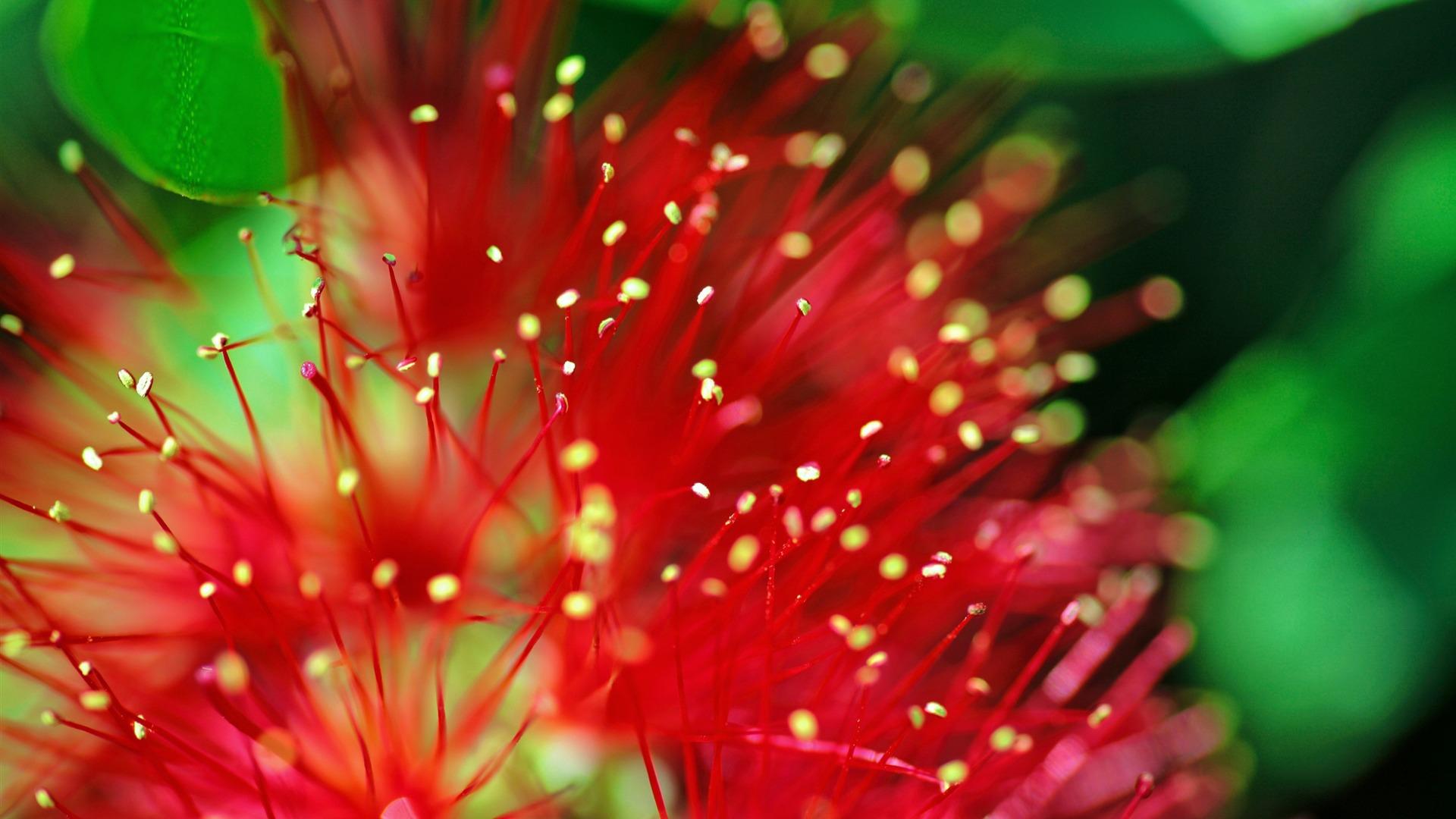 Hình nền đóa hoa Bỉ Ngạn