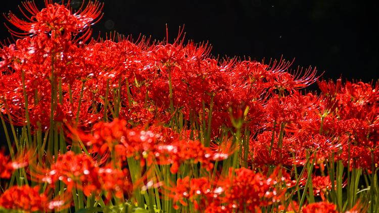 Hình nền hoa Bỉ Ngạn cho desktop