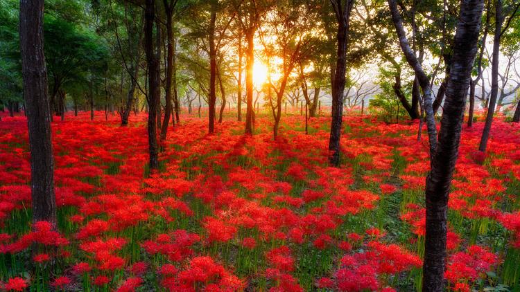 Hình nền hoa Bỉ Ngạn đẹp