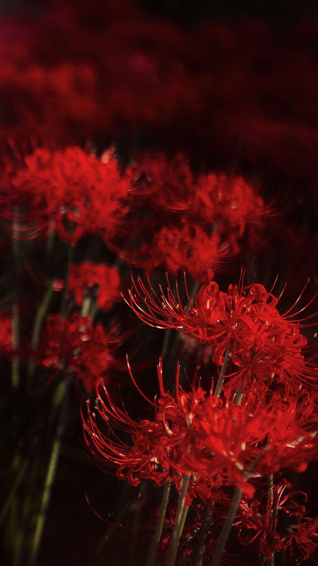 Hình nền hoa Bỉ Ngạn đỏ cho điện thoại