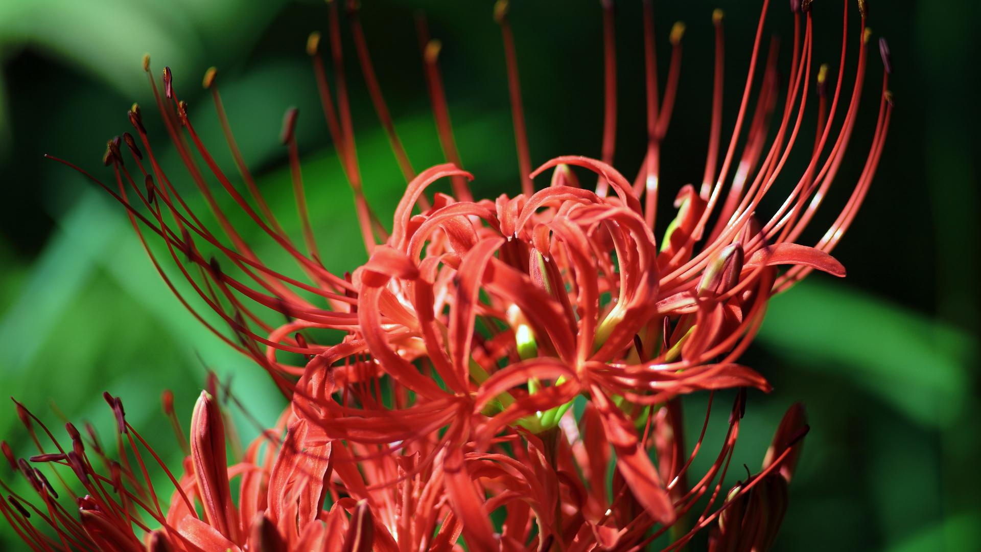 Hình nền hoa Bỉ Ngạn đỏ