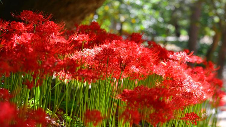 Hình nền hoa Bỉ Ngạn dưới nắng