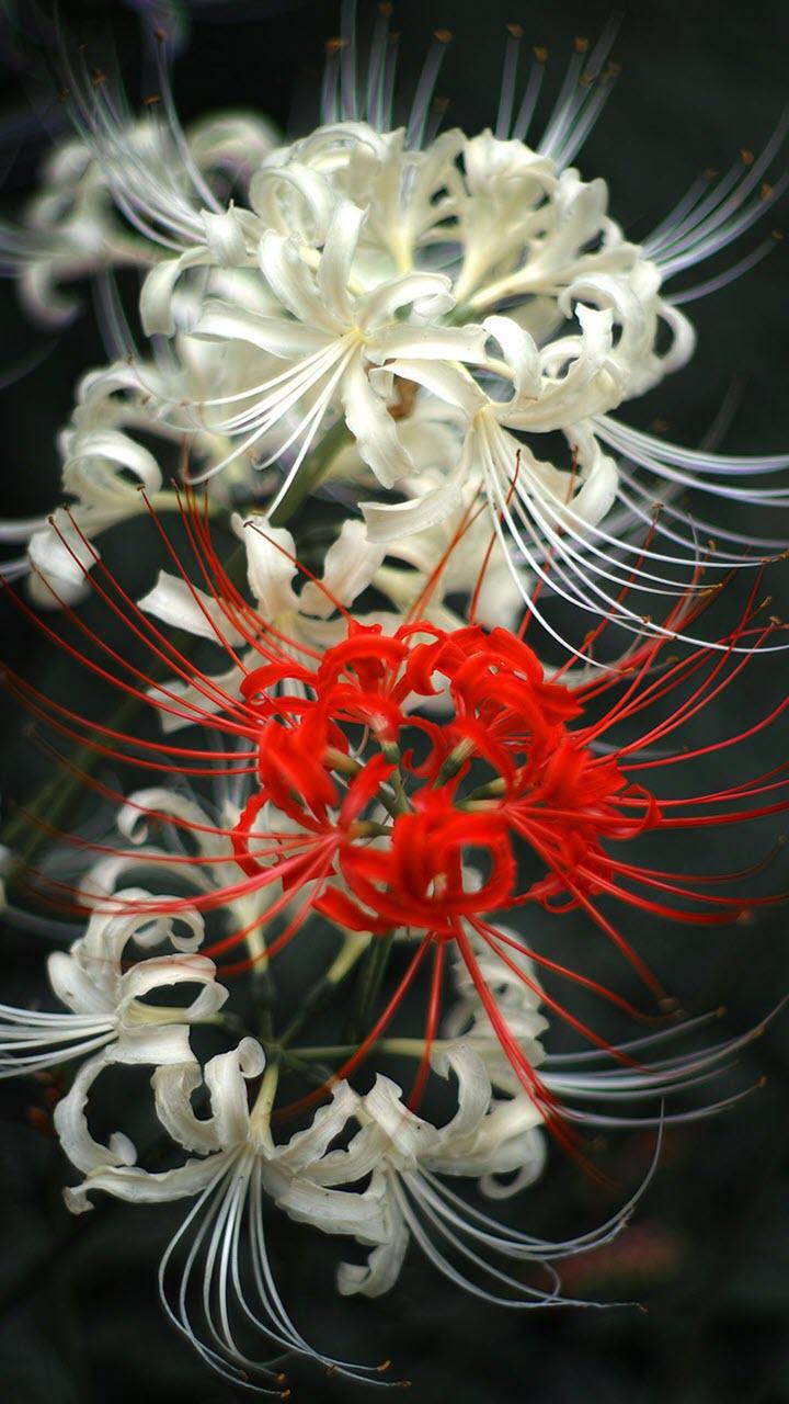 Hình nền hoa Bỉ Ngạn HD