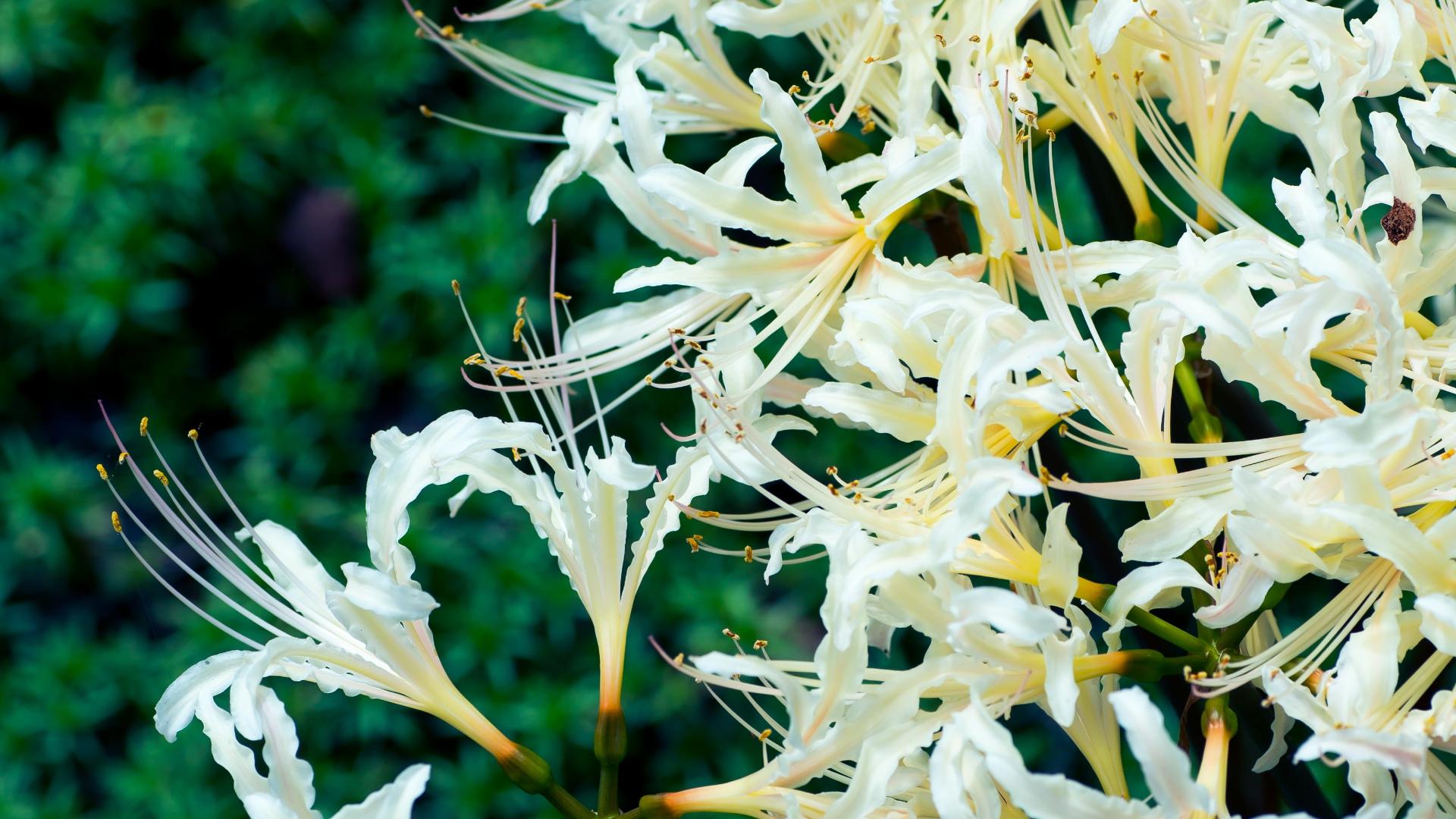 Hình nền hoa Bỉ Ngạn trắng đẹp