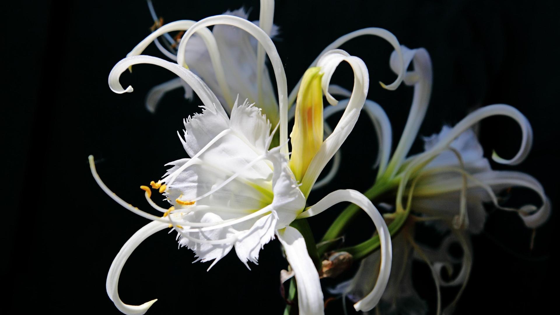 Hình nền hoa Bỉ Ngạn trắng
