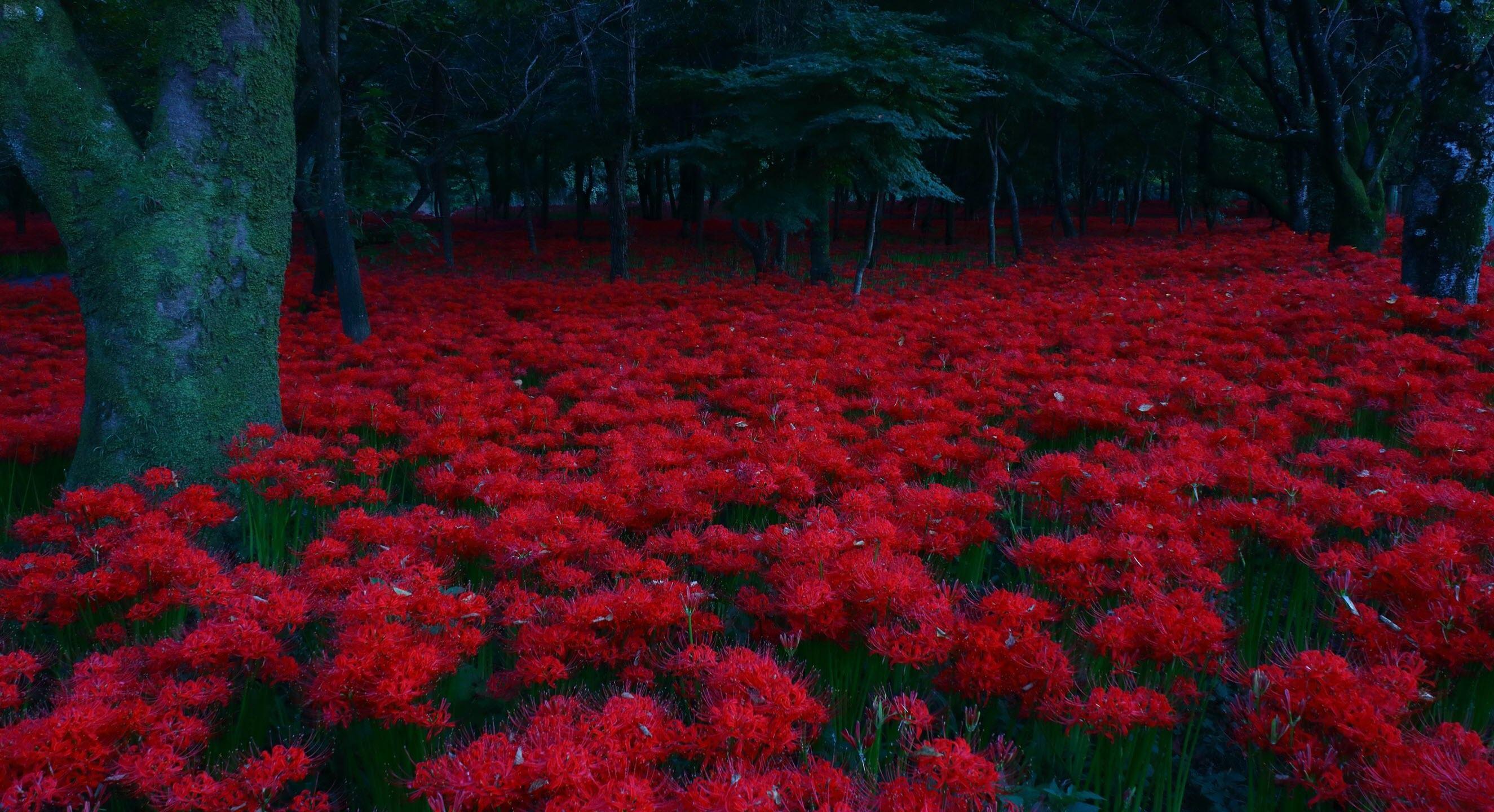 Hình nền rừng hoa Bỉ Ngạn